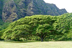 Drzewo Albizia saman, z którego pozyskuje się drewno suar