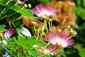 """Drzewo, z którego pochodzi """"drewno z Indonezji"""", kwitnie na różowo i ma charakterystyczne dla bobowatych liście"""