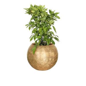 Roślina w donicy GEA Gold